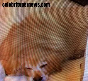 Photo of Kim Richards Sleeping Golden Retriever