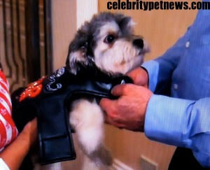 Photo of Jackpot Maloof Nassif Morkie CPN
