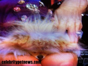 Photo of Giggy Sleep Lisa Vanderpump lap on Headline News Celebrity Pet News