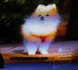 Photo of White Pomeranian RHOBH CPN