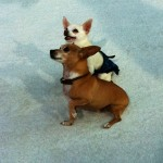 Photo of Rusco and Angel Beverly Hills Chihuahua